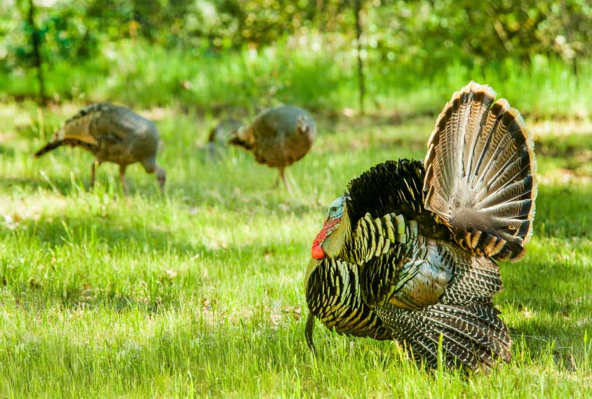 WildTurkey_web2